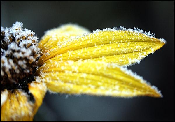 givre fleur helianthus